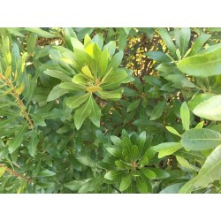 Small Crop Of Bay Laurel Nursery