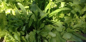 celtuce in mixed lettuce