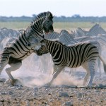 zebras thinkstock for the seven causes of disagreement pretty high res