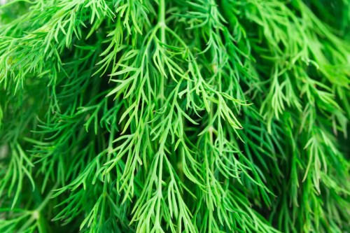 Clever Dill A Good Dill A Good Dill Spiceography Substitute Recipe Salmon Recipe Substitute Dill