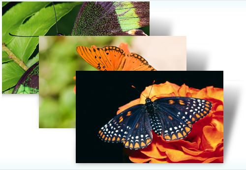 windiows 7butterfly theme Download Awesome Butterflies' – Windows 7 Theme