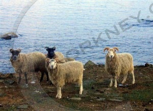 North Ronaldsay sheep, grazing their native shoreline