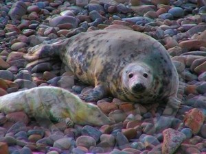 Grey seal with pup from the Orkney Seal Rescue Gallery