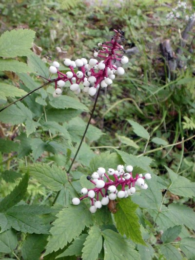 White Baneberry NPS
