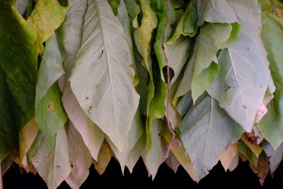 tobacco-2217936_1920