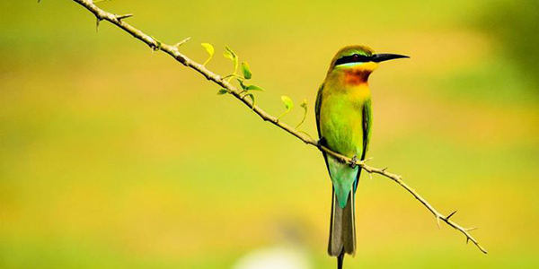 Srilankan Green bee eater