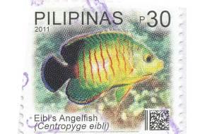 Eibl's-Angelfish