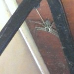 Huntsman spider Edith1_cropped