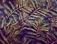 Curly leaf pondweed