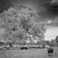 Kuh auf Weide mit Baum