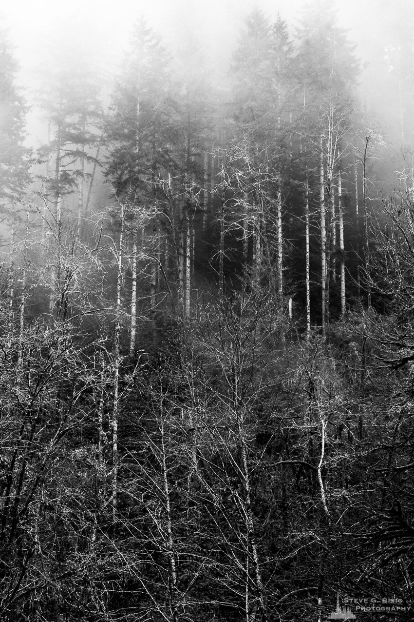 Foggy Forest, Capital State Forest, Washington, 2015