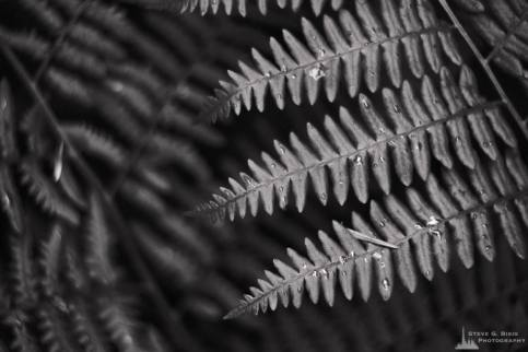 A black and white nature photograph of a patch of springtime ferns on Whidbey Island, Washington.