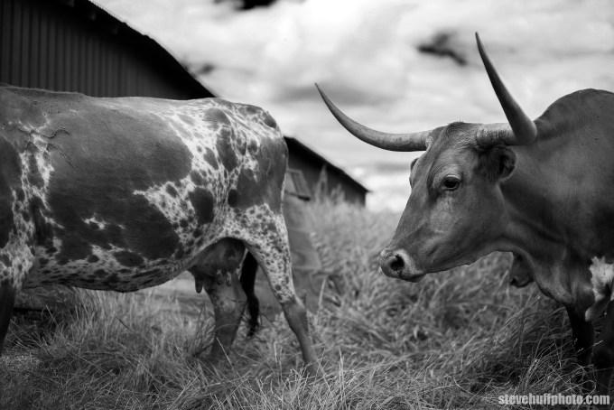 cattleL1001651BW