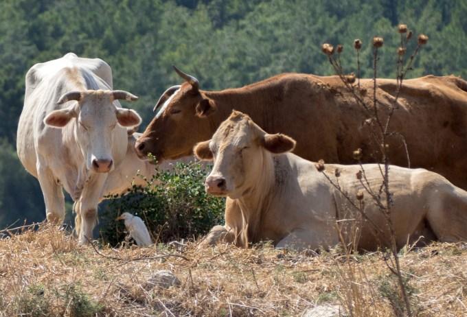 Megiddo Cows