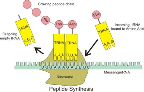 DNA RNA Translation Ribosome