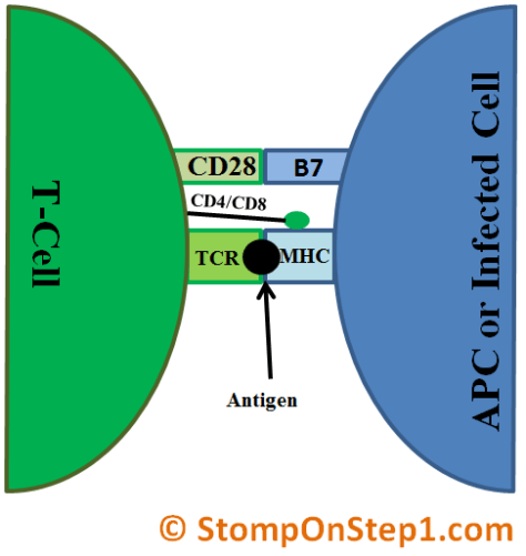 T Cell Activation CD28 B7 CD4 CD8 MHC TCR antigen presenting cell