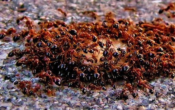دراسة: أسراب النمل تحل مشكلة الأزمة المرورية