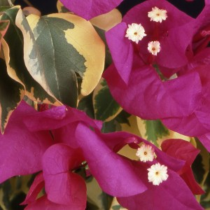 Ice Raspberry Bougainvillea