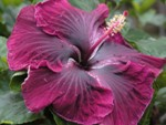 black-dragon-cajun-hibiscus