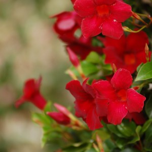 sun-parasol-mandevilla-Pretty-Deep-Red-6