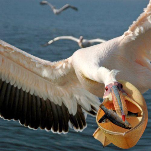 pelican-great-shot_2126885i