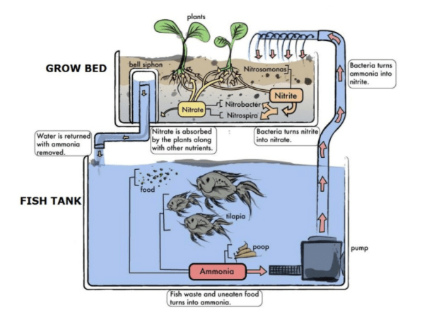 Ingenious method aquaculture aquaponics pros and cons for Fish farming pros and cons
