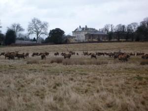 deer grazing beside the Royal Ballet School