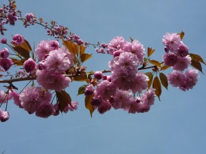 my cherry tree