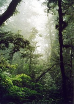 New Zealand old growth forest, South Island, photo Cathy Fitzgerald 2003