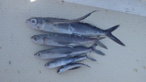 Flying fish that we couldn't save
