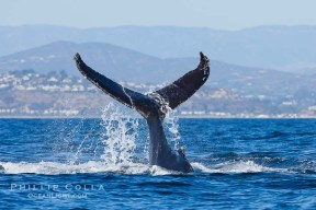 A humpback whale raises it fluke out of the water