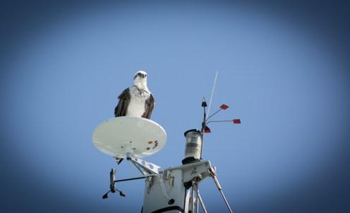 Fish Eagle Perched on Mast