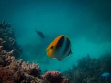 Butterfyl Fish, Lady Musgrave Island