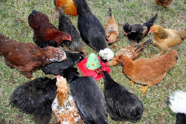 Chickens enjoying Christmas treat