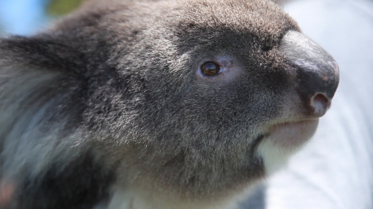 Koala Hugging in Perth, Western Australia