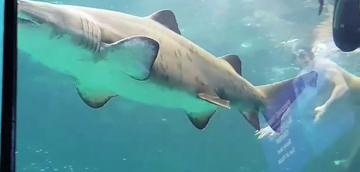 Extreme swimmer has jaunt with Jaws