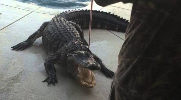 Florida Man Finds 9 Foot Alligator At Bottom Of Swimming Pool
