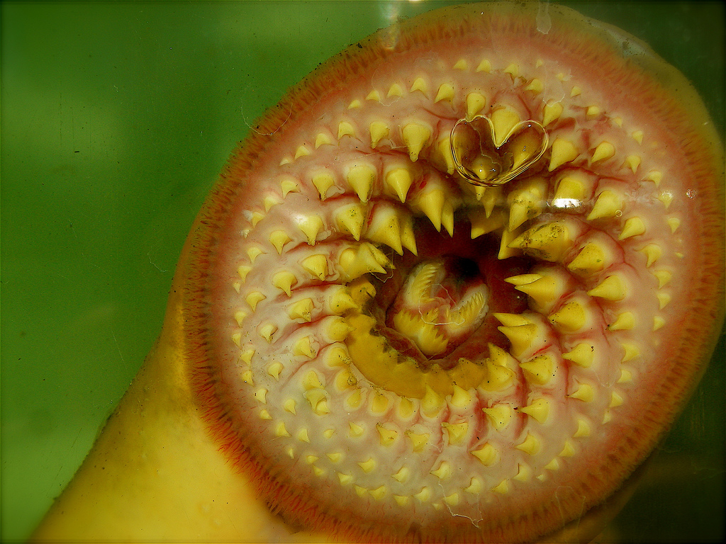 Return of the lamprey – ancient, ugly and swimming up British rivers