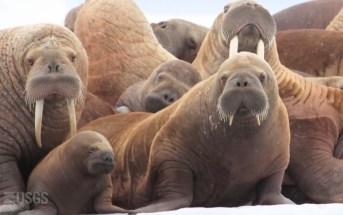 Walrus Hug Leaves Two Dead From Drowning