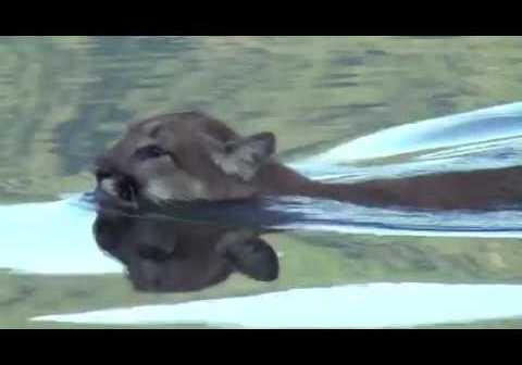 Cougar spotted swimming in Lake Whatcom near Bellingham