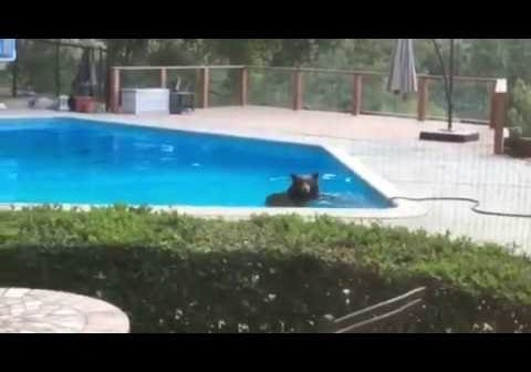 Swimming Bear Visits Arcadia Home