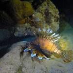 Bad guy, Lion fisk. Denne tilhører ikke den naturlige faunaen og ødelegger korallrevene.