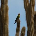 En fjern slektning av Donald klorer seg fast i de meterhøye kaktusene.