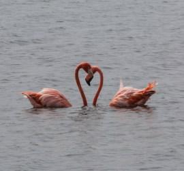 Flamingo i hjerter