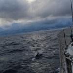 Delfinene holdt oss med selskap flere dager på rad.