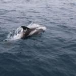 Delfiner på vei over Nordsjøen