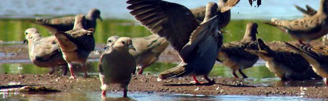 Hunt doves in Argentina