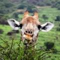 giraff-Schotia