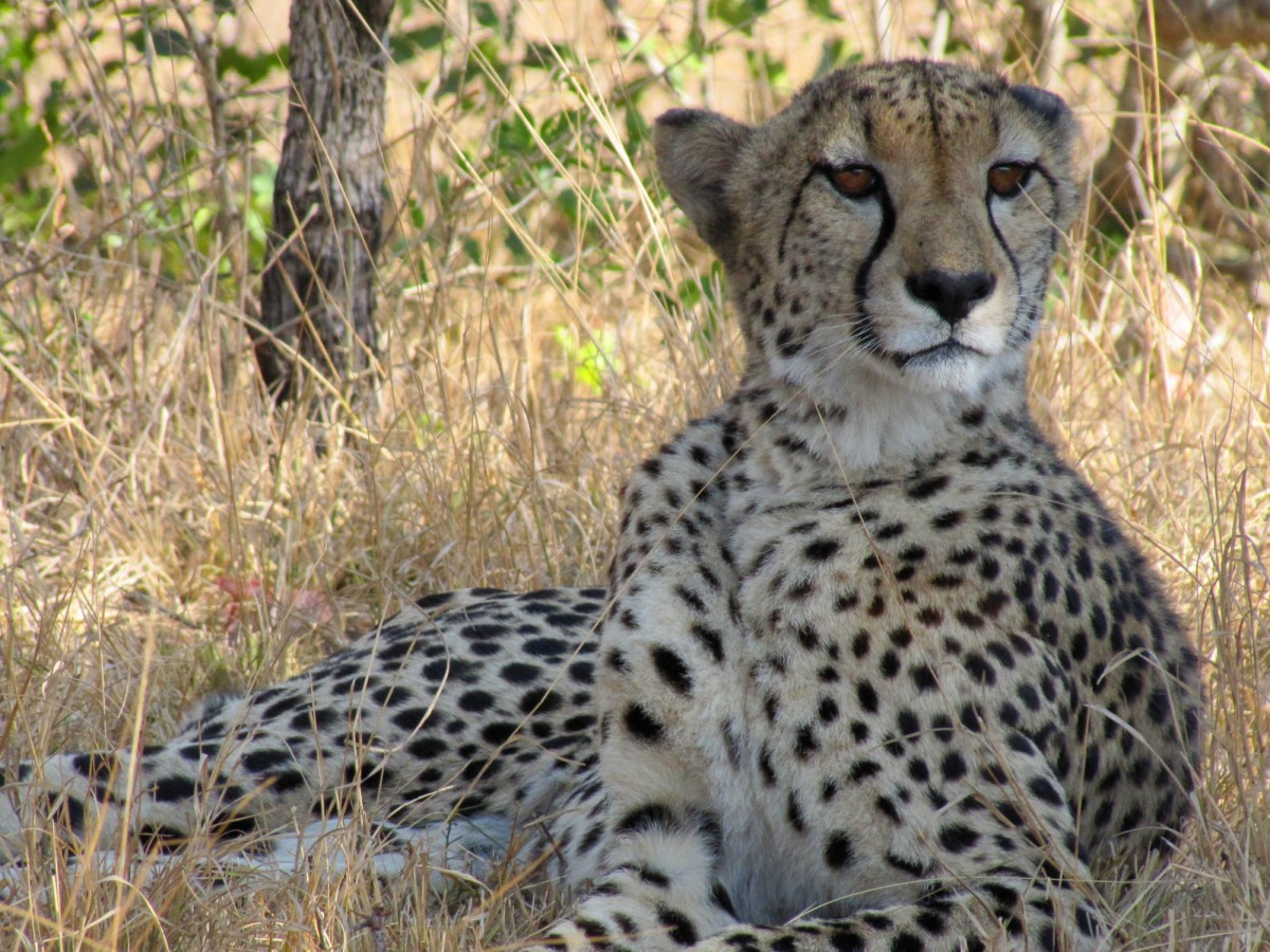 The Eye of the Cheetah
