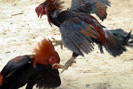 No pasa en la Cámara federal la prohibición de peleas de gallos